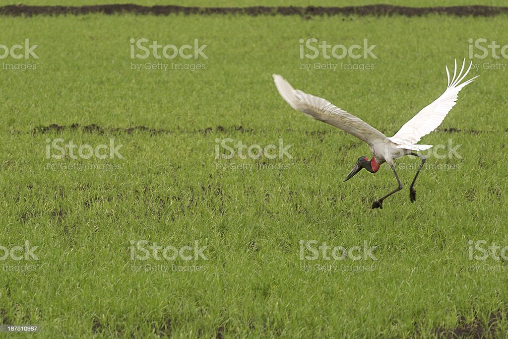 Bird over a rice field royalty-free stock photo