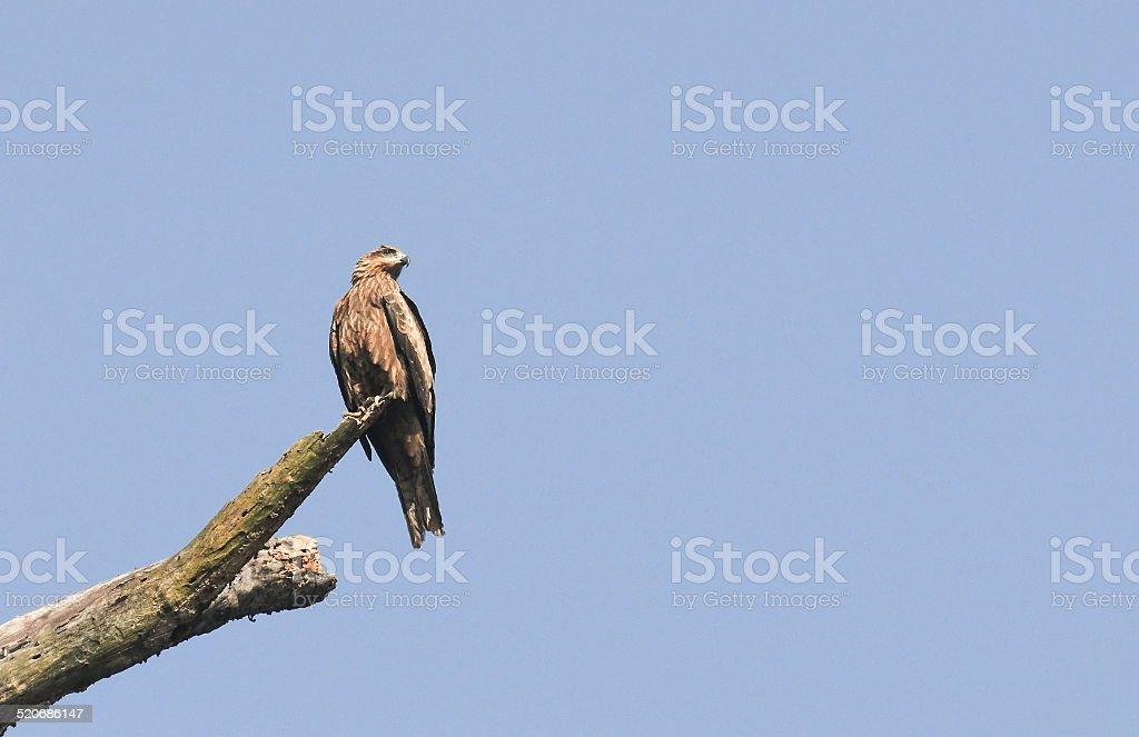 Bird, Pariah Kite - Milvus migrans stock photo
