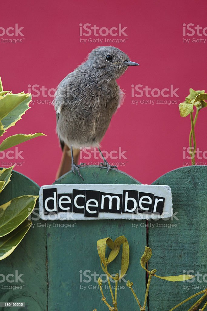 Bird perched on a December decorated fence stock photo