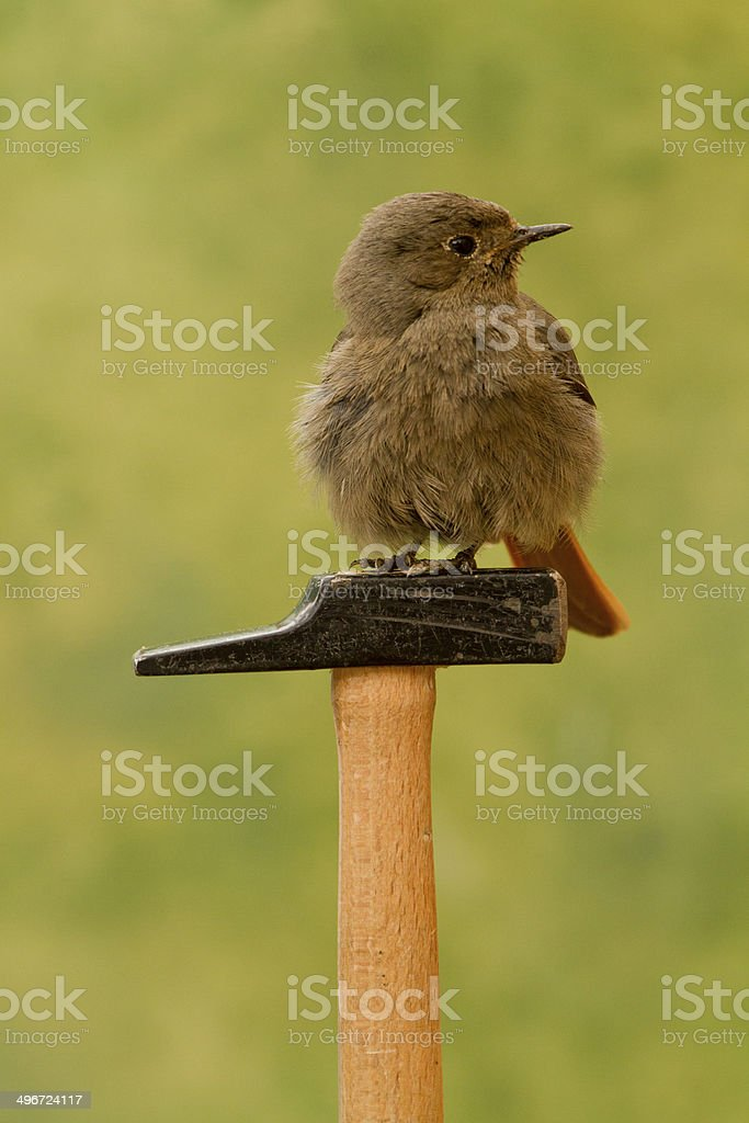 Bird perched on a hammer stock photo