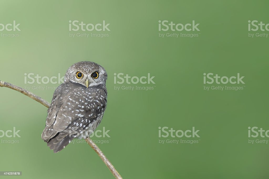 Bird (spotted owlet) perching on branch stock photo