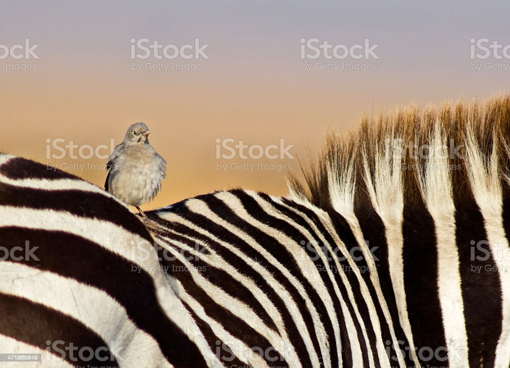 Bird perching on zebra stock photo