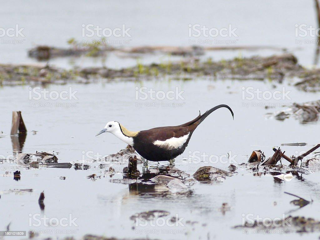 Bird pheasant-tailed jacana . royalty-free stock photo