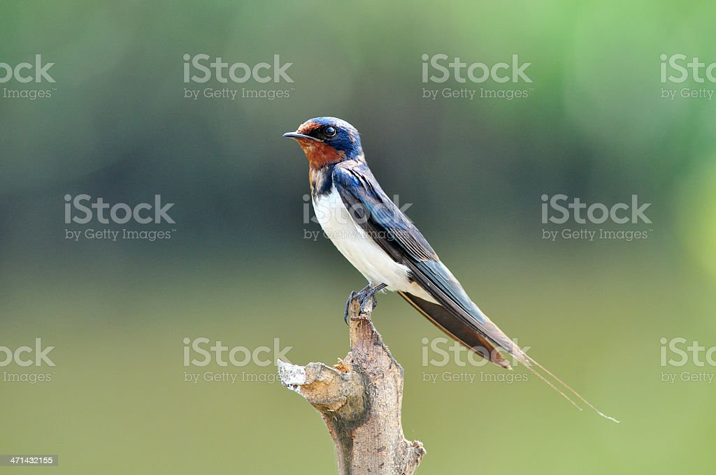 Bird (Swiftlets) royalty-free stock photo