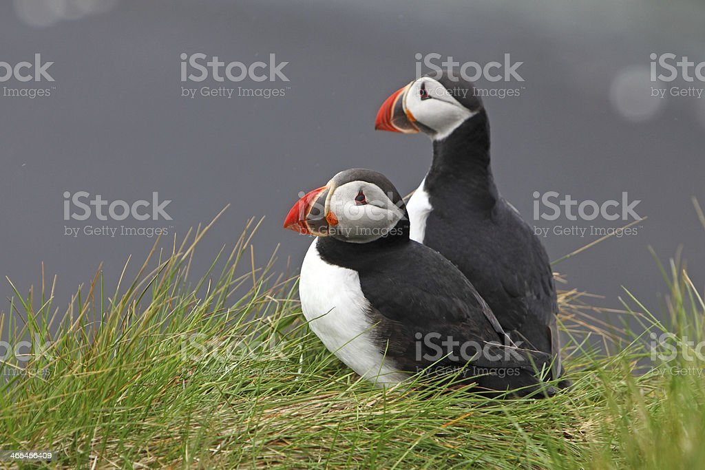 Bird Puffin royalty-free stock photo