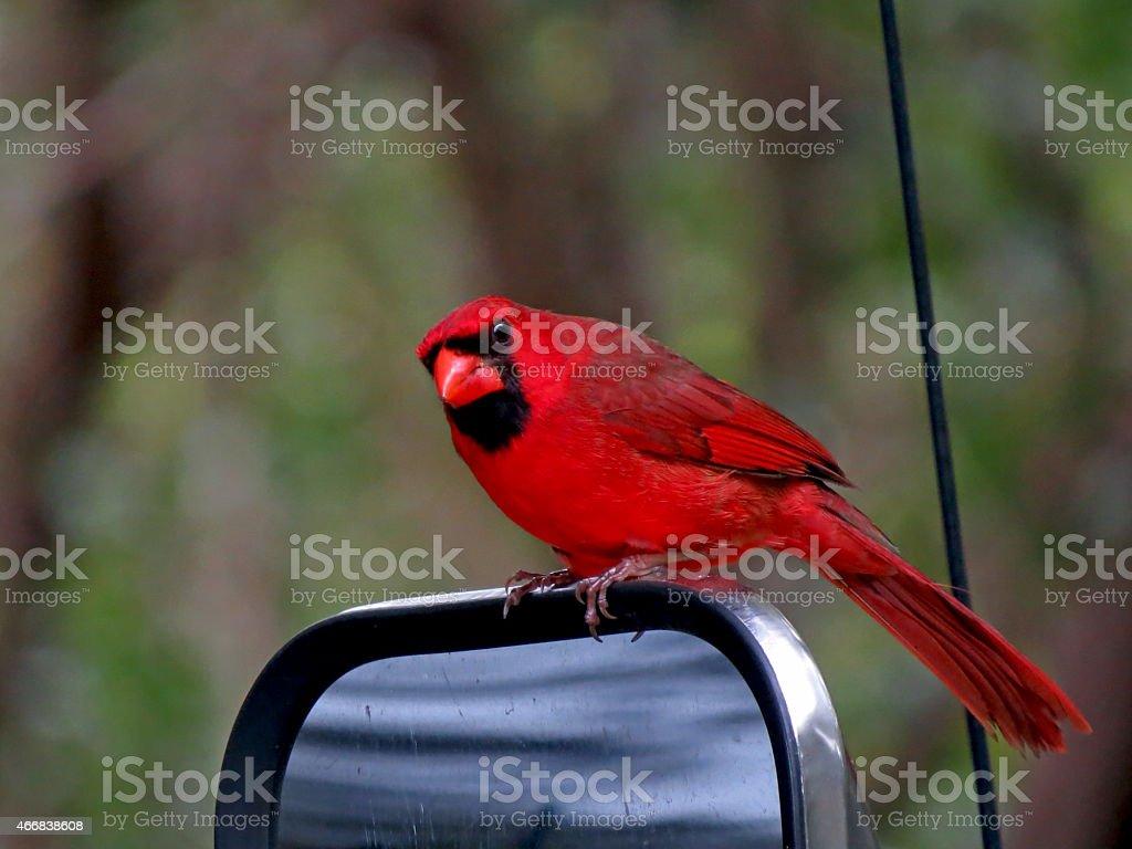 Bird Red Cardinal. stock photo