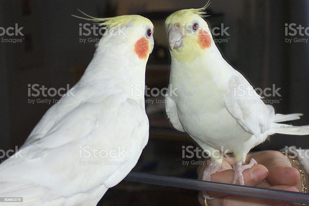 Bird reflections in mirror - cockatiel royalty-free stock photo