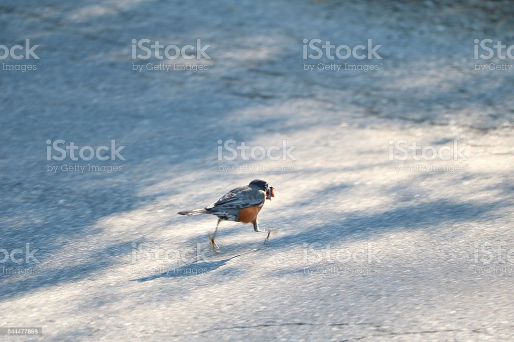 Bird Running with Morning Worm stock photo