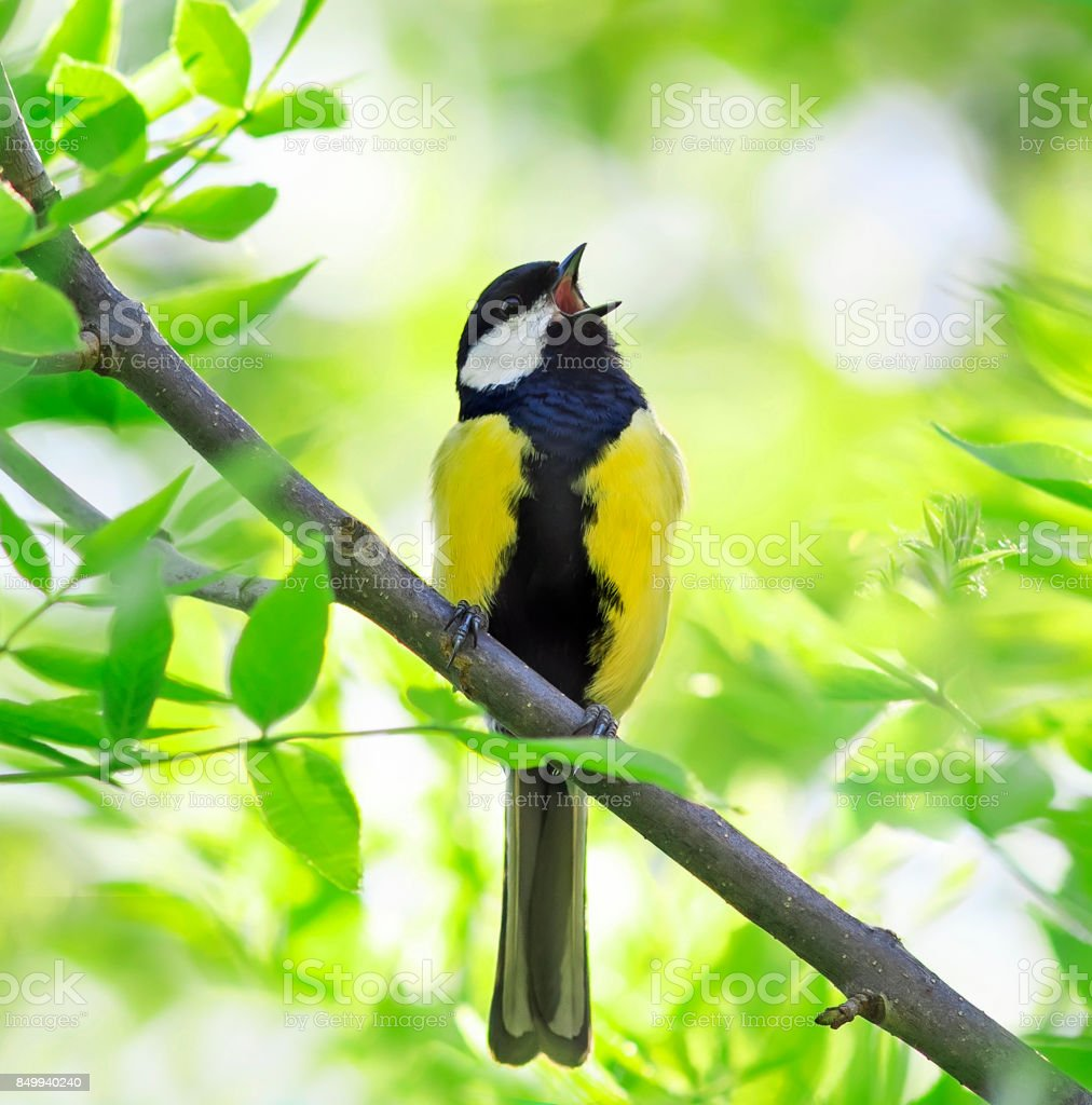 bird singing in spring forest with fresh green tree in Sunny day stock photo