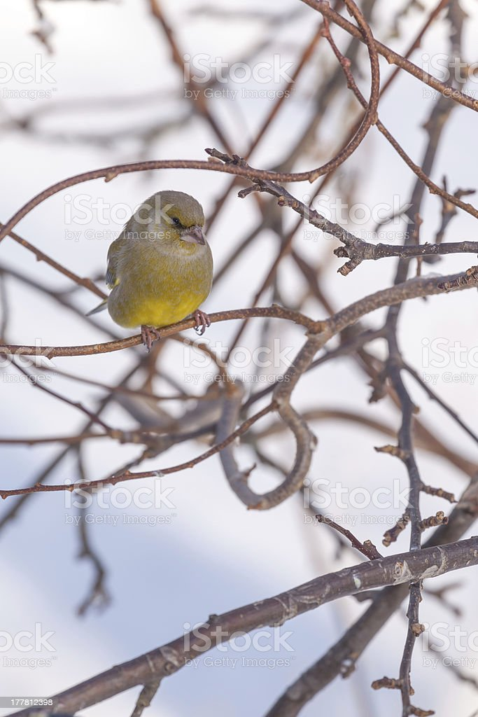 Bird sitting on branche in the winter stock photo