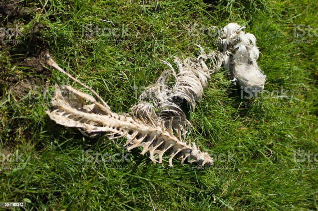 Bird skeleton in field stock photo