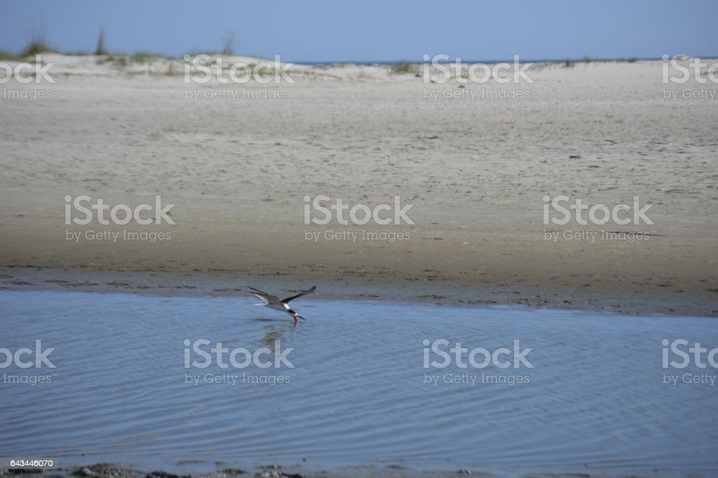 Bird Skimming water Gould's Inlet stock photo