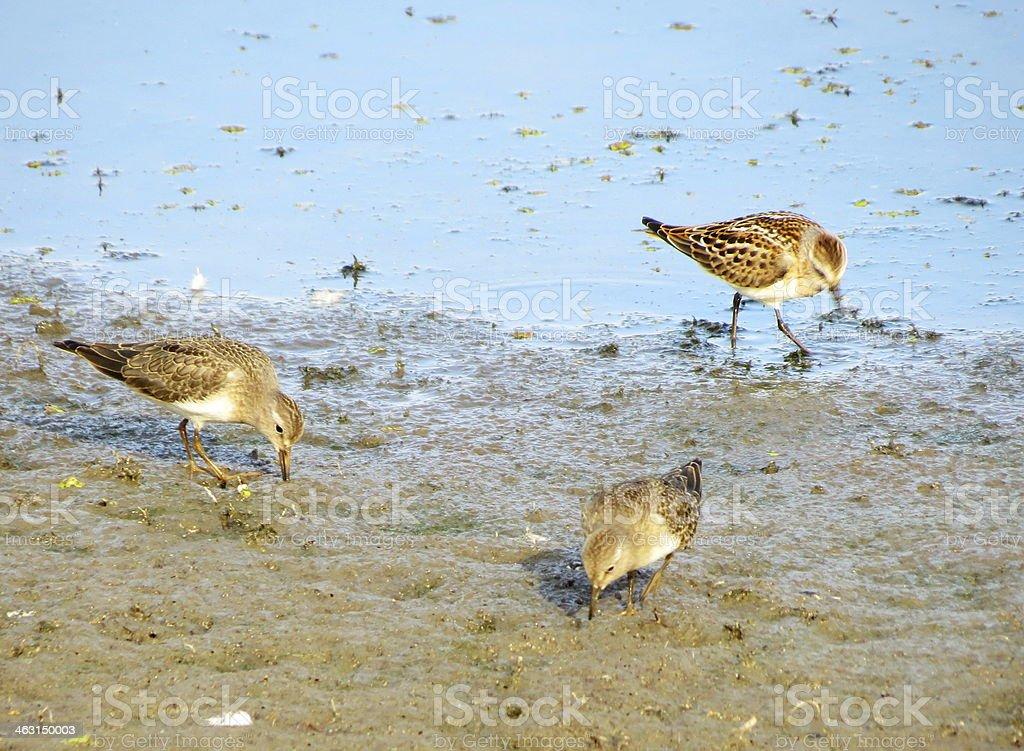 Bird snipe royalty-free stock photo