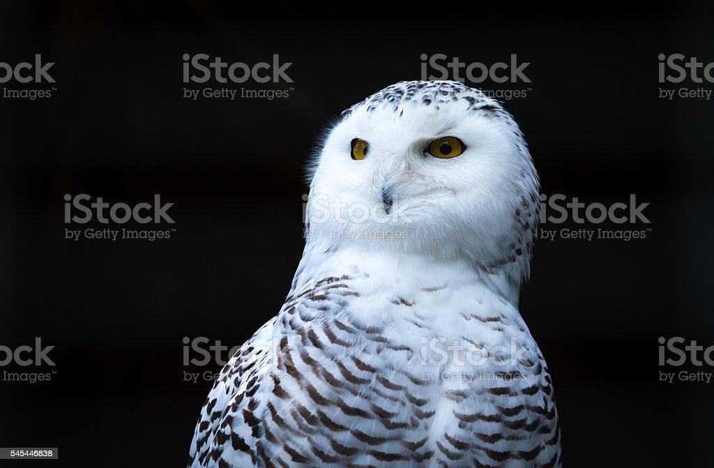 Bird snowy owl stock photo