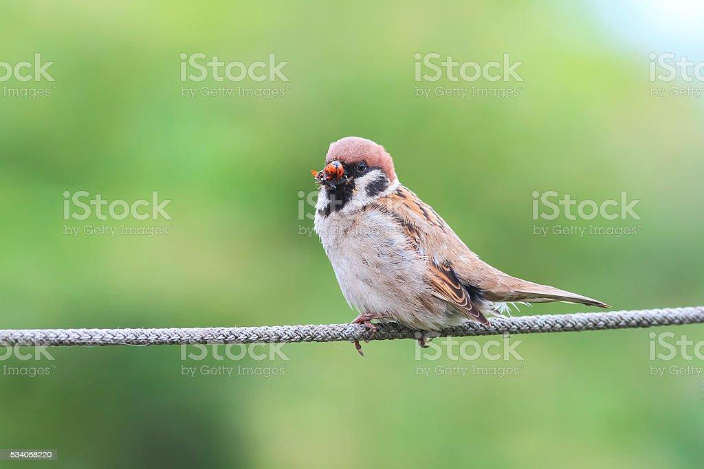 bird Sparrow sitting  with his beak full of ladybugs stock photo