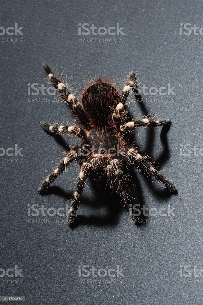 Bird spider stock photo