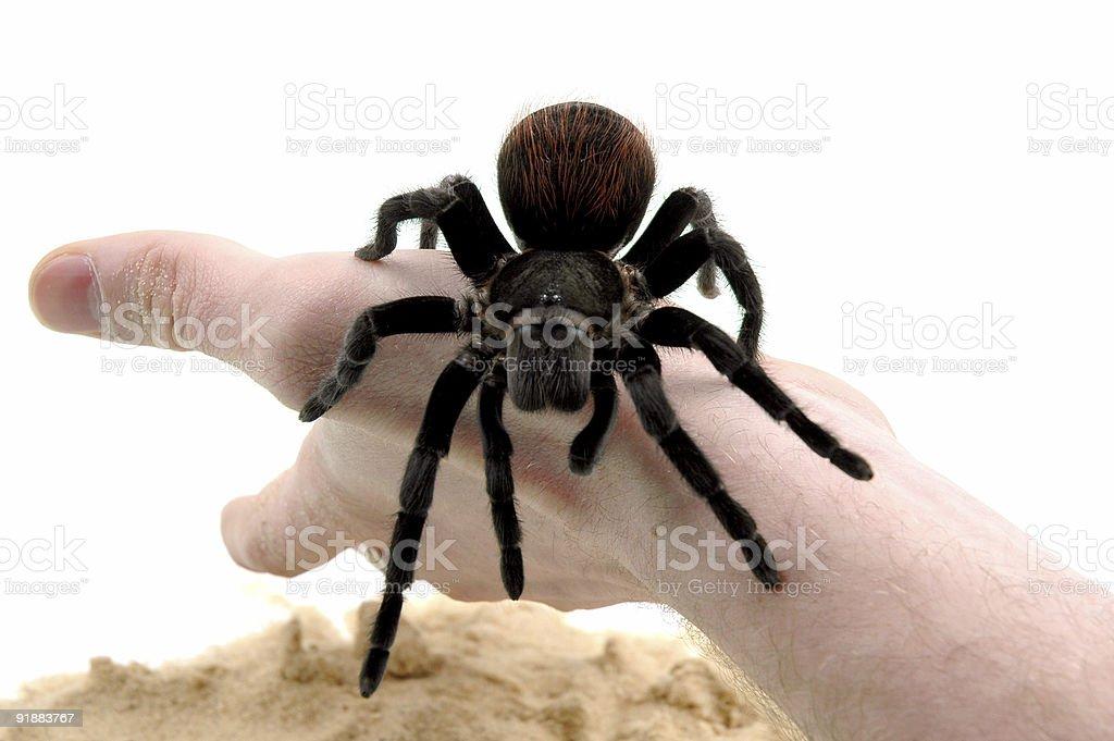 Bird spider royalty-free stock photo