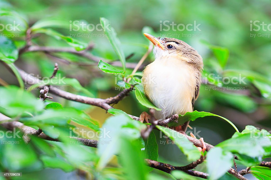 Bird squab learn to fly  (Common Tailorbird) asia thailand royalty-free stock photo