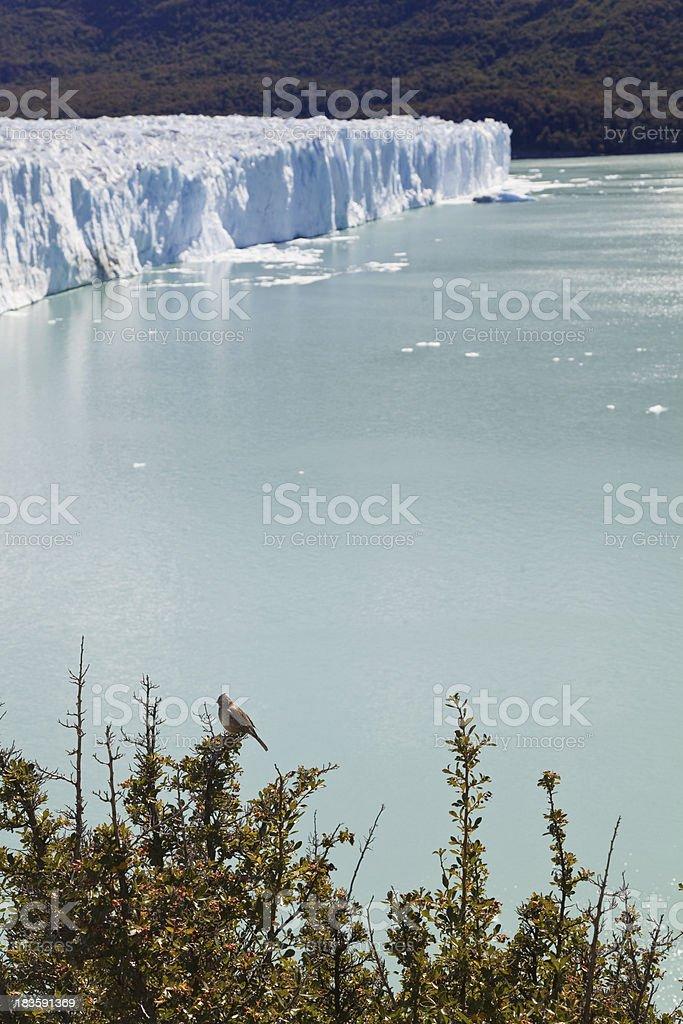 Bird standing close to the Perito Moreno glacier. royalty-free stock photo