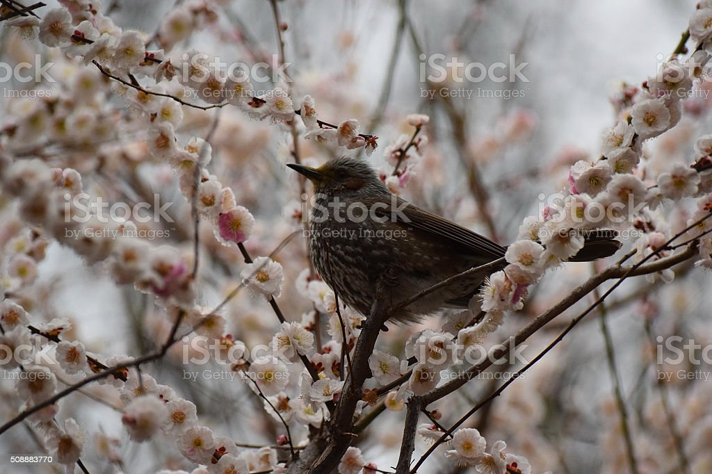 Bird surrounded by blomming Cherry blossoms stock photo