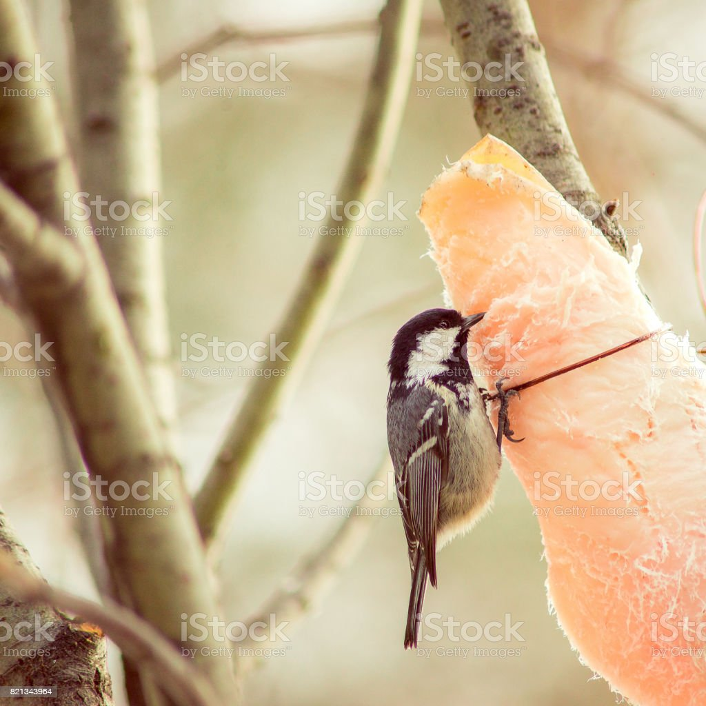 bird survives the winter to eat lard,survival, the birds in the park, great tit, yellow, black bird wintering birds, birdwatching stock photo