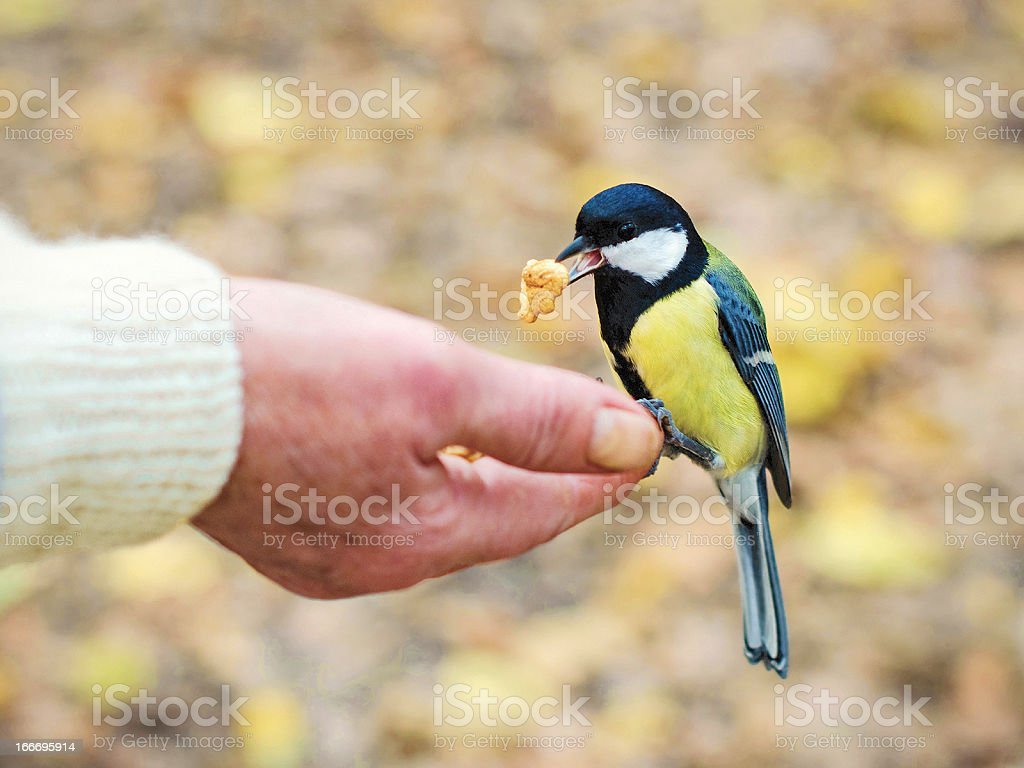 Bird takes a nut from the human hand royalty-free stock photo