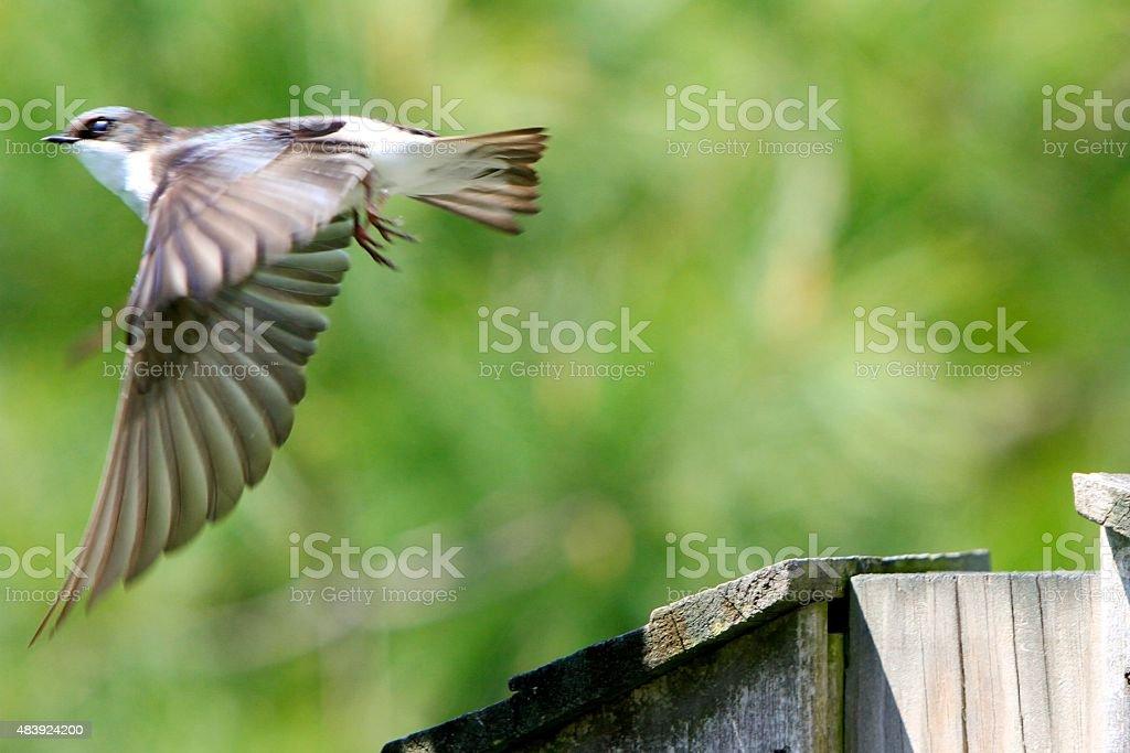 Bird Taking Flight, Wings Down stock photo