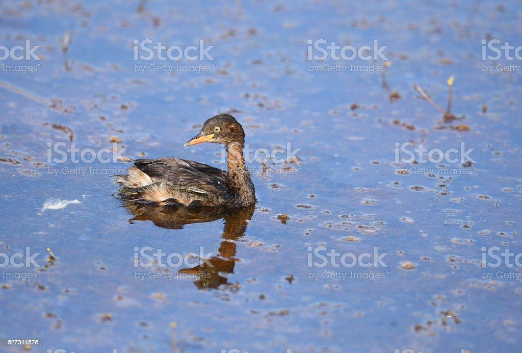 Bird (Little Grebe) , Thailand stock photo