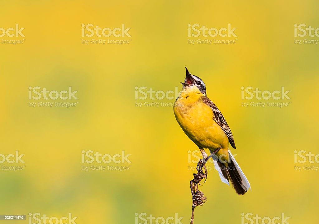 bird the yellow Wagtail sings on meadow stock photo