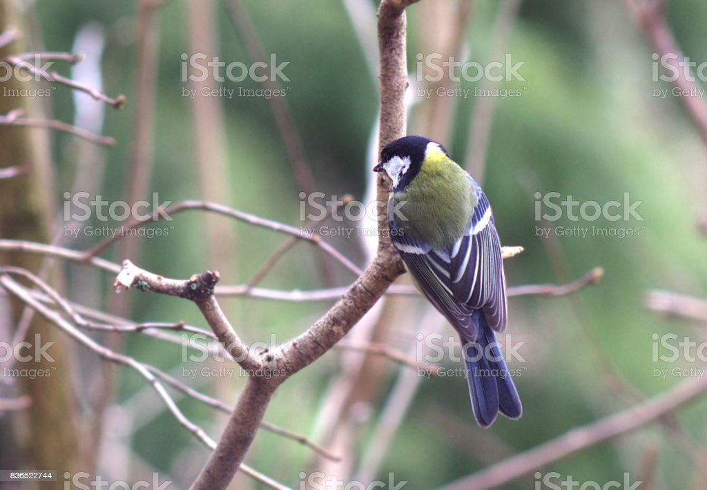 bird tit stock photo