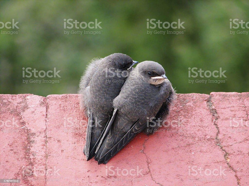 Bird Twins royalty-free stock photo