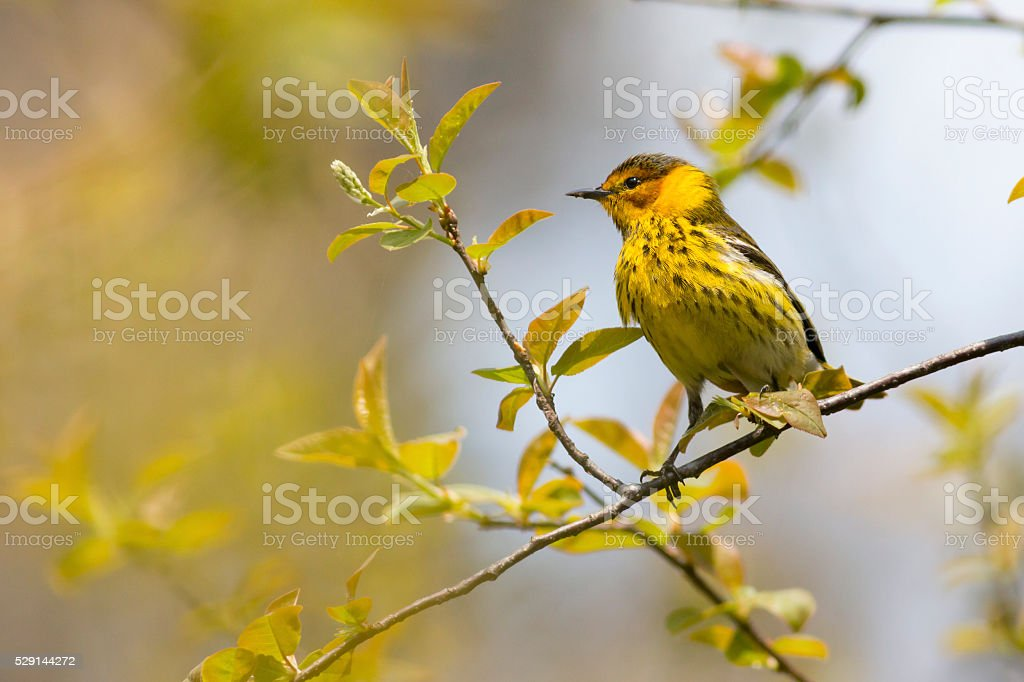 Bird watching background with a Cape May Warbler stock photo