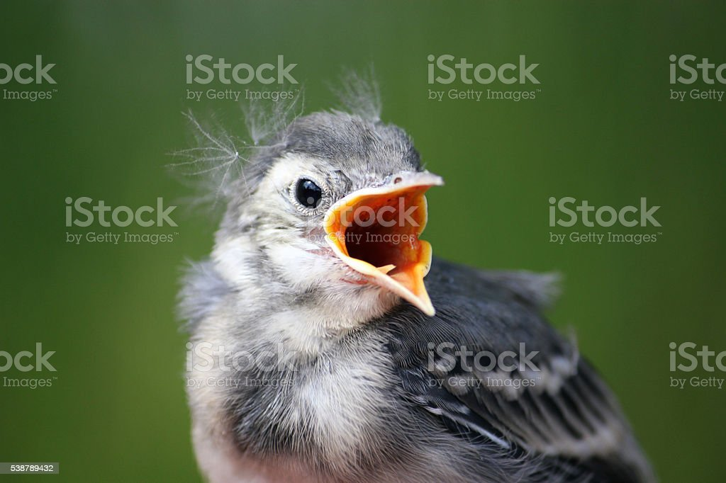 Bird. White wagtail young chick. stock photo