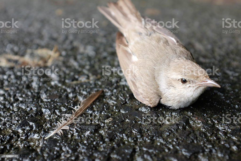 Bird with Feather after Accident stock photo