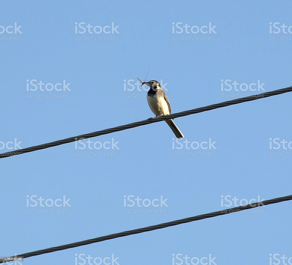 Bird with insect royalty-free stock photo