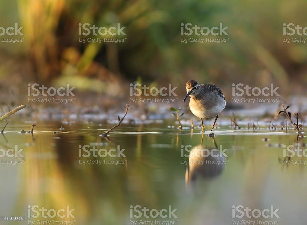 Bird - Wood Sandpiper (Tringa glareola) stock photo
