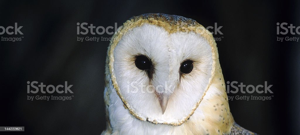 Bird-Barn owl royalty-free stock photo