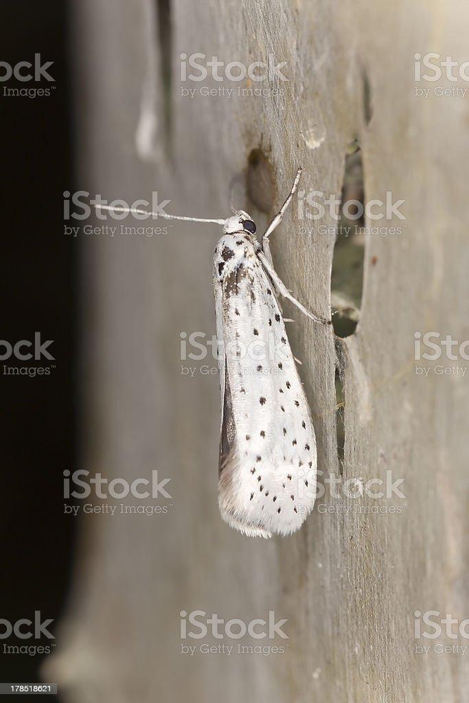 Bird-cherry Ermine moth (Yponomeuta evonymella) on net, extreme close-up stock photo