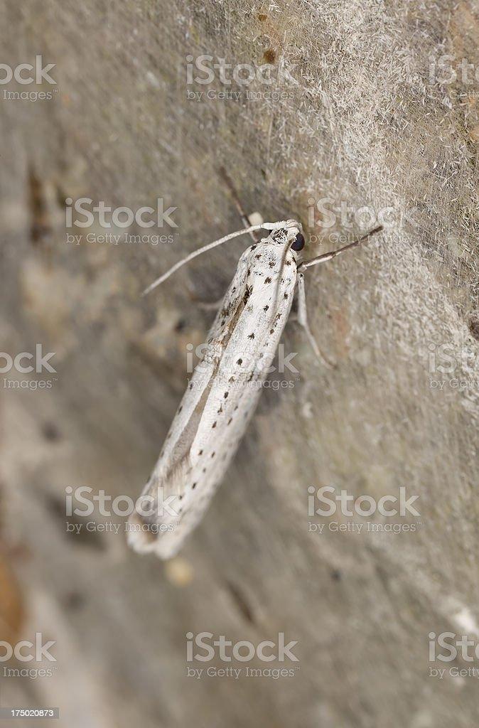 Bird-cherry Ermine moth (Yponomeuta evonymella) stock photo