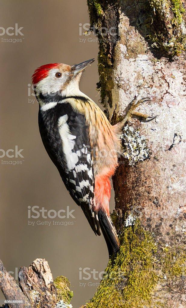 Bird,dendrocopos stock photo