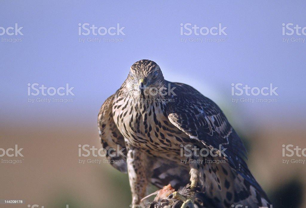 Bird-Ferruginous Hawk royalty-free stock photo