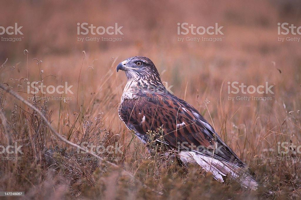 Bird-Ferruginous hawk stock photo
