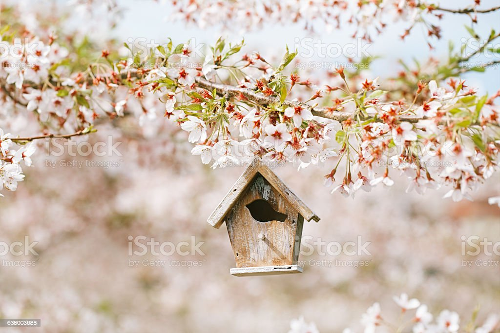Birdhouse in Spring with blossom cherry flower sakura stock photo