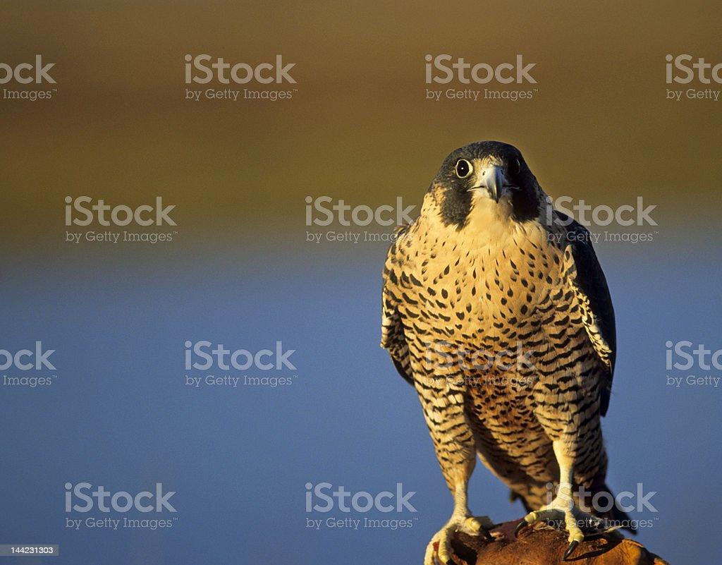 Bird-Peregrine falcon royalty-free stock photo