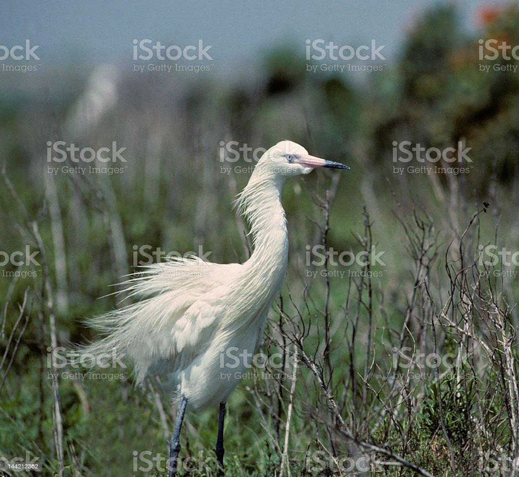 Bird-Reddish egret (white phase) royalty-free stock photo