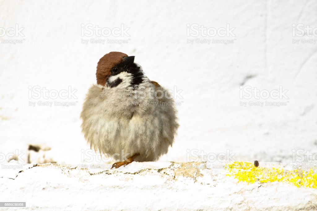 Birds and animals in wildlife. Sparrow feathers spreader