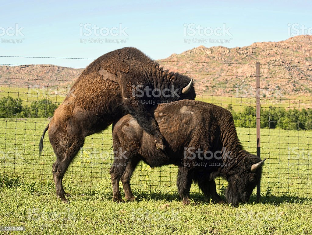 Birds and Bees and Buffalo. stock photo