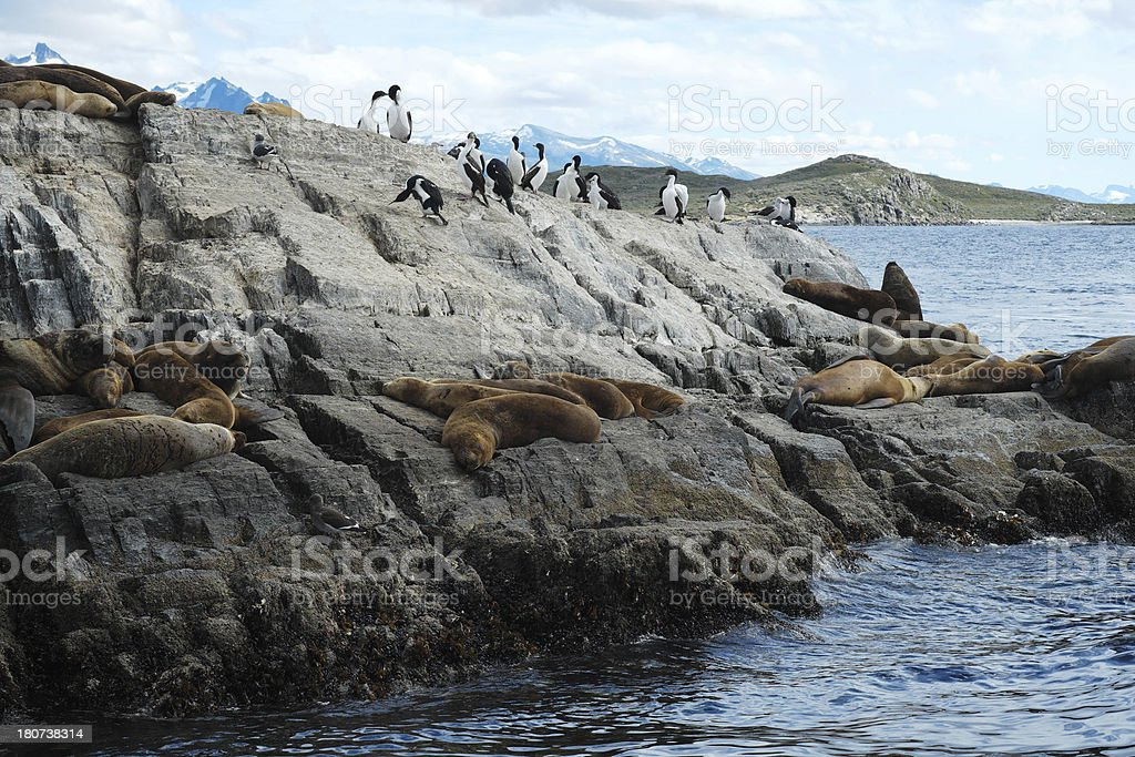 Birds and Sea lions in the Beagle Channel royalty-free stock photo