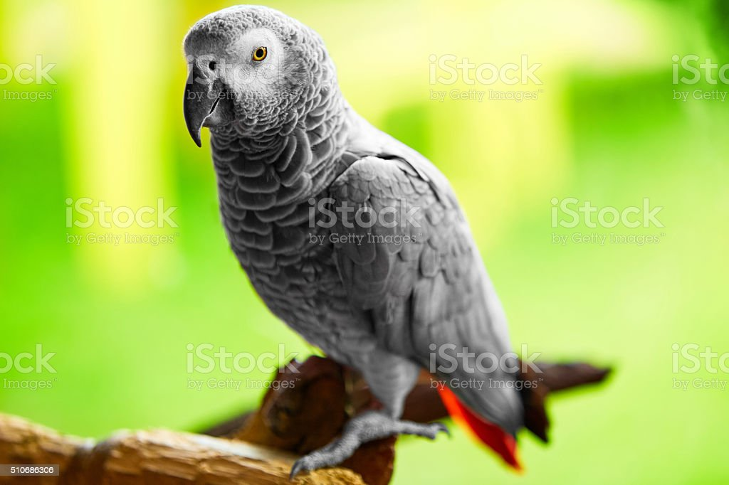 Birds, Animals. Closeup Portrait Of African Grey Parrot Or Jako....