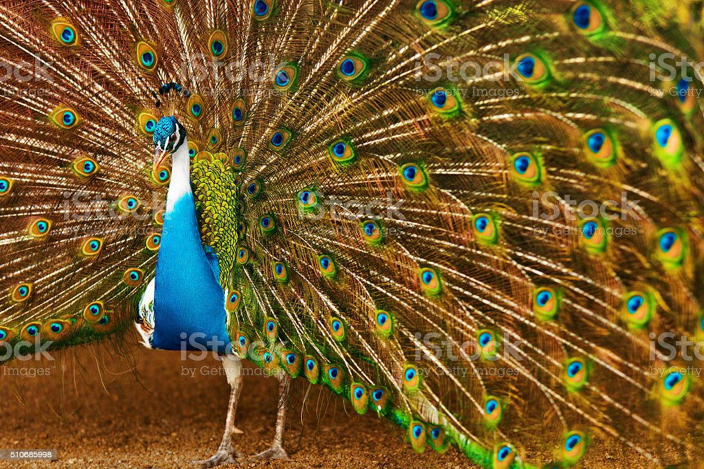 Birds, Animals. Peacock With Expanded Feathers. Thailand, Asia. stock photo